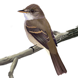 Willow Flycatcher Body Illustration