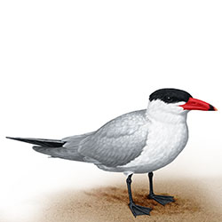 Caspian Tern Body Illustration