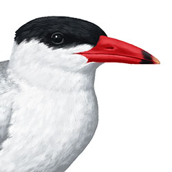 Caspian Tern Head Illustration