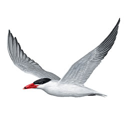 Caspian Tern Flight Illustration