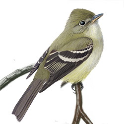 Alder Flycatcher Body Illustration