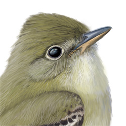 Alder Flycatcher Head Illustration