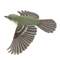 Alder Flycatcher Flight Illustration