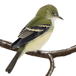 Acadian Flycatcher Body Illustration