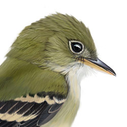 Acadian Flycatcher Head Illustration