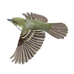 Acadian Flycatcher Flight Illustration