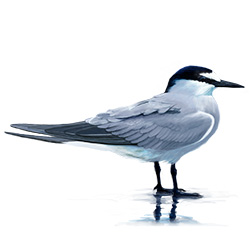 Aleutian Tern Body Illustration
