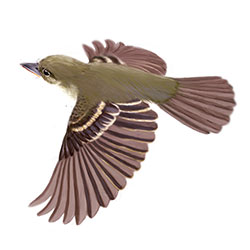 Willow Flycatcher Flight Illustration