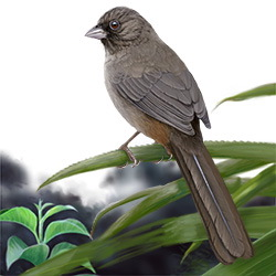 Abert's Towhee Body Illustration
