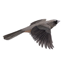 Abert's Towhee Flight Illustration