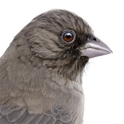 Abert's Towhee Head Illustration