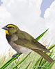 Yellow-faced Grassquit Thumbnail