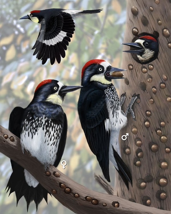 Acorn Woodpecker_CEPortrait_576