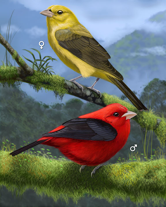 Scarlet Tanager_CEPortrait_576