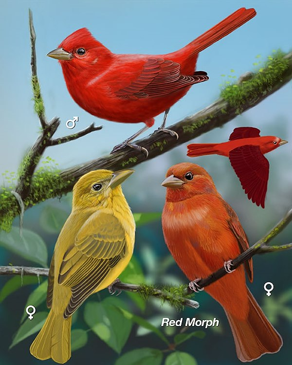 Summer Tanager_CEPortrait_576