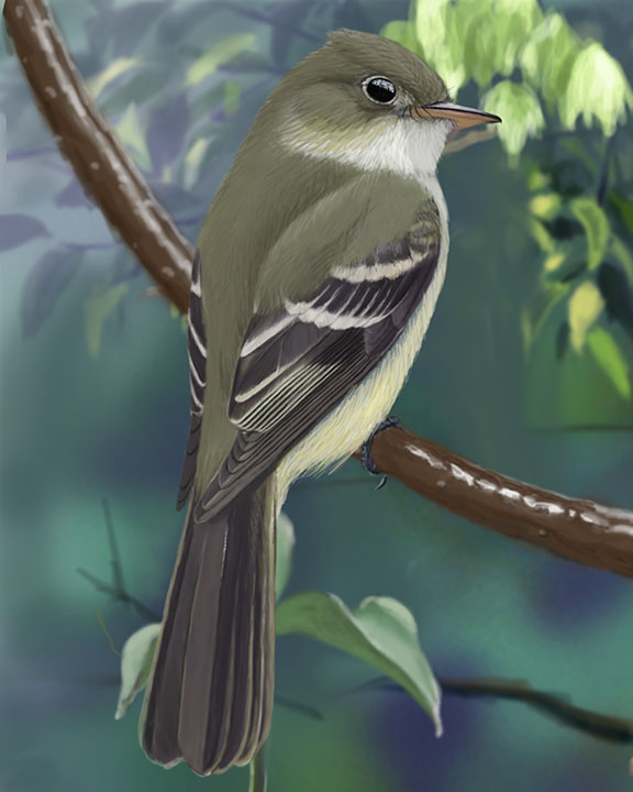Alder Flycatcher Worn Summer_CEPortrait_576