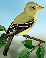 Yellow-bellied Flycatcher Thumbnail Large