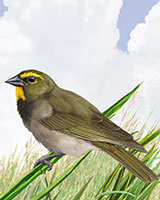 Yellow-faced Grassquit Thumbnail Large