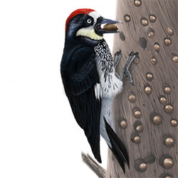 Acorn Woodpecker Body Illustration