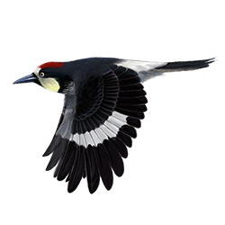 Acorn Woodpecker Flight Illustration