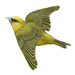 Akekee Flight Illustration