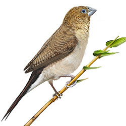 African Silverbill Body Illustration