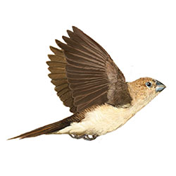 African Silverbill Flight Illustration