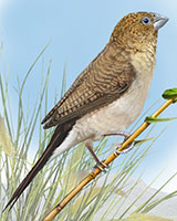 African Silverbill Thumbnail Large