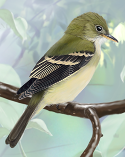 Acadian Flycatcher Thumbnail Body Largest.png
