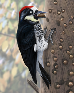 Acorn Woodpecker Thumbnail Largest