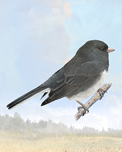 Dark-eyed Junco Thumbnail Body Largest.png