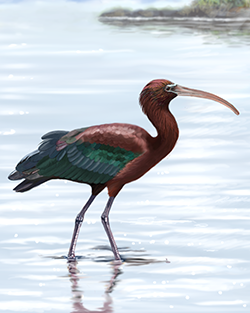 Glossy Ibis Thumbnail Body Largest.png