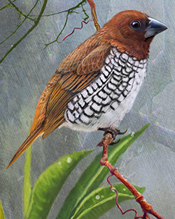 Scaly-breasted Munia Thumbnail Largest