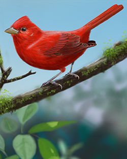 Summer Tanager Thumbnail Largest