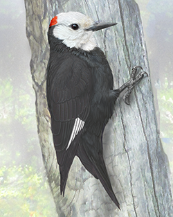 White-headed Woodpecker Thumbnail Body Largest.png