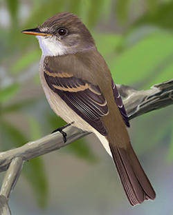 Willow Flycatcher Thumbnail Largest