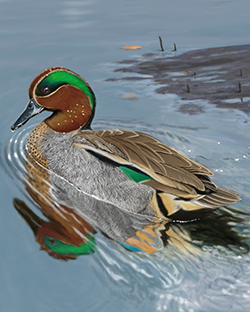 Common Teal Thumbnail Largest