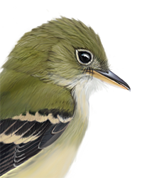 Acadian Flycatcher Thumbnail Head Largest.png