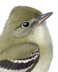 Alder Flycatcher Thumbnail Head Largest