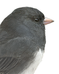 Dark-eyed Junco Thumbnail Head Largest.png