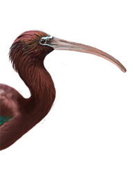 Glossy Ibis Thumbnail Head Largest.png
