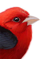 Scarlet Tanager Thumbnail Head Largest