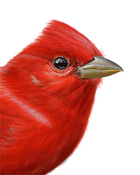 Summer Tanager Thumbnail Head Largest
