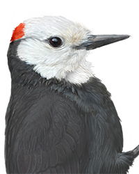 White-headed Woodpecker Thumbnail Head Largest.png