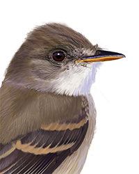 Willow Flycatcher Thumbnail Head Largest