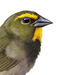 Yellow-faced Grassquit Thumbnail Head Largest