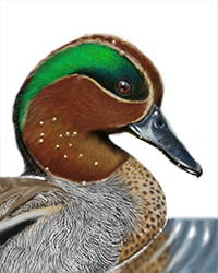 Common Teal Thumbnail Head Largest