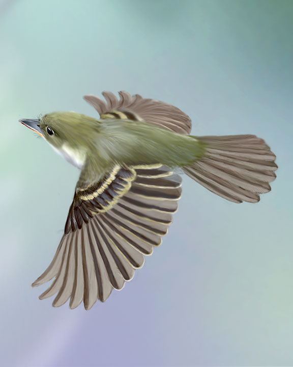 Acadian Flycatcher Adult Flight_CEVariation4_576.jpg