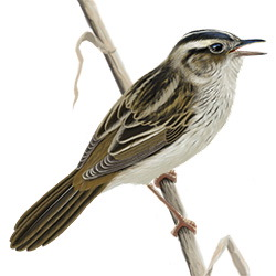 Aquatic Warbler Body Illustration
