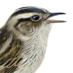 Aquatic Warbler Head Illustration